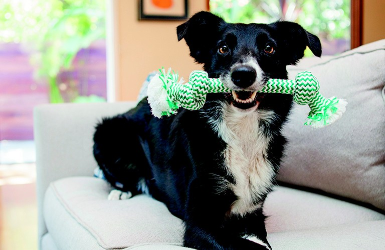 border collie holding a rope toy